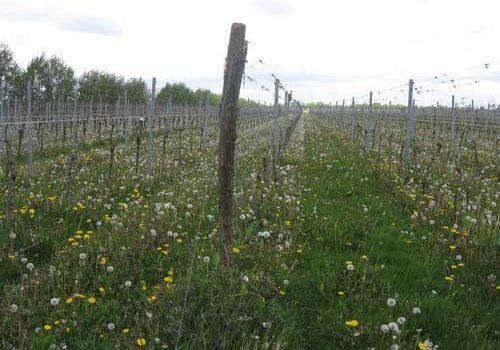 Wijnstokken leasen op Reestlandhoeve