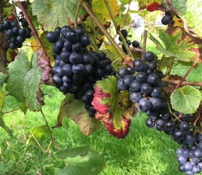 Rondo en Solaris geoogst op de wijngaard