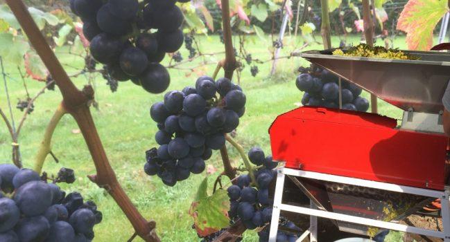 Vroege oogst op wijngaard Kalenberg
