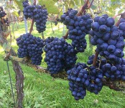 De druivenrassen
