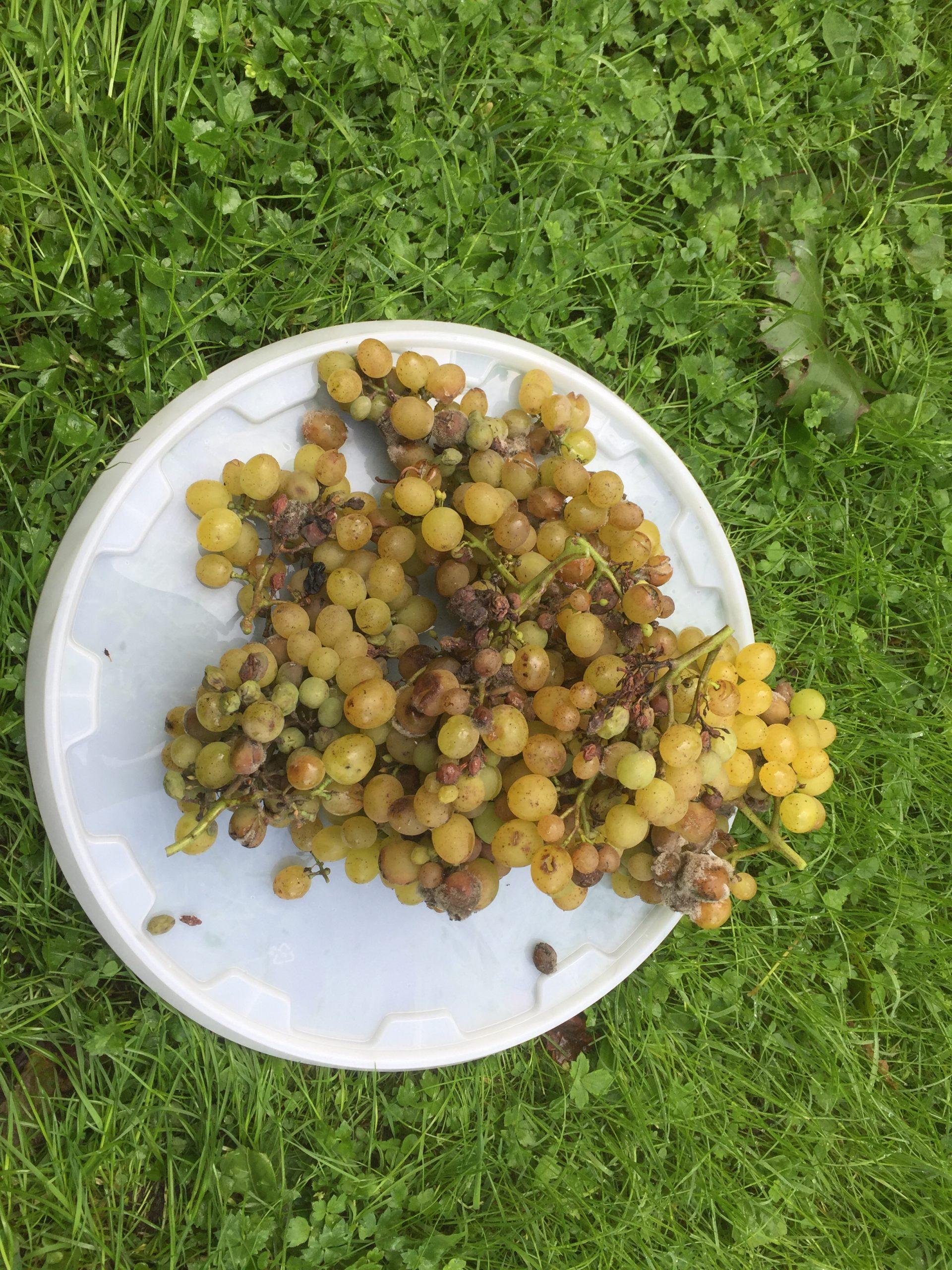 voor het eerst Palatina druiven …